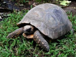 tortuga terrestre Ecuador