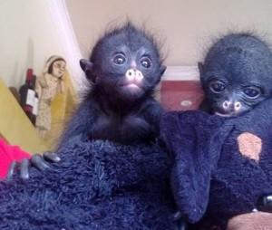 Nacimiento monitas araña,bebes del zoologico, Pasita y Chira