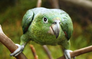 lora verde de ecuador