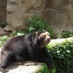 osos-de-anteojos-spectacled-bear-ecuador (800 x 499)