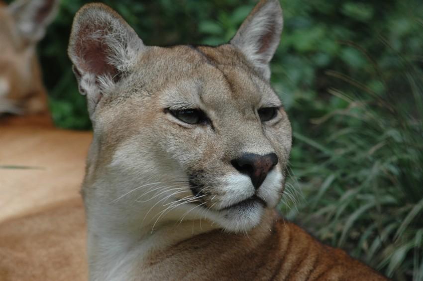 foto de puma o leon americano ecuador